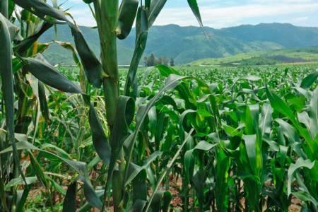 Recomendaciones para alcanzar mayores rendimientos en maíz